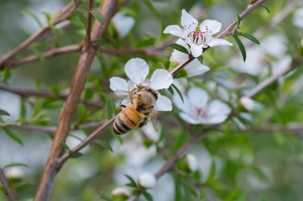 Manuka Honey. What Is It Actually Good For?